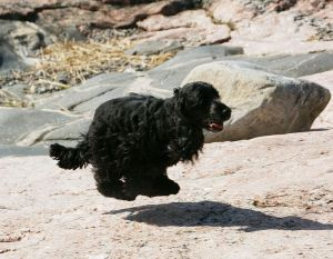 English_Cocker_Spaniel_black2